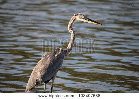 The Great Blue Heron At Malibu Lagoon In September
