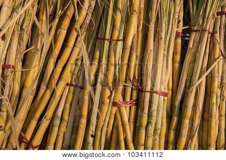 Asia Myanmar Myingyan Agraculture Sugarcane