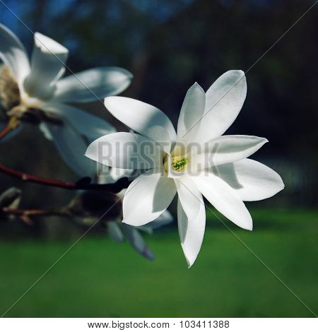Delicate Magnolia Flower. Retro Photo.