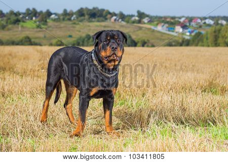 Rottweiler dog grass field