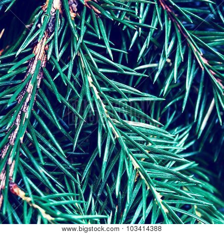 Fir-tree Background - Silver, Blue Spruce Pine, Fir Tree Close Up. Christmas Tree Pine Branches