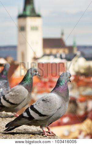 Pigeons in old Tallinn