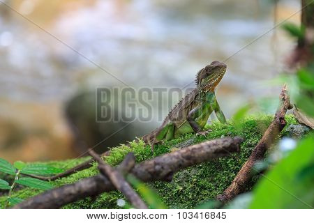 A Chinese Water Dragon Resting On The Rock