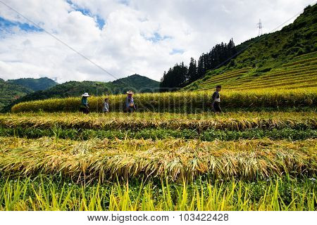 Farmers are harvesting in terraced rice field in Laocai, Vietnam.