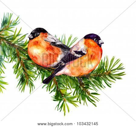 Two bullfinch birds on fir or pine tree branch. Watercolor