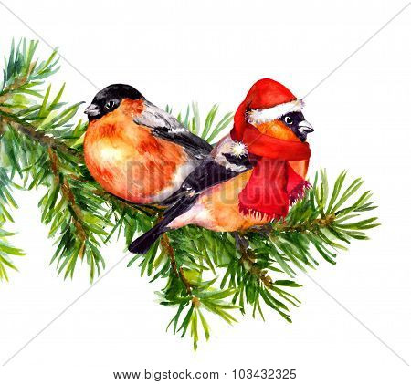 Two bullfinch birds in winter clothes on chrismast tree