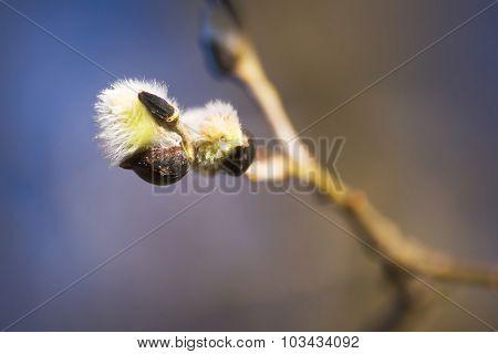 Buds in springtime