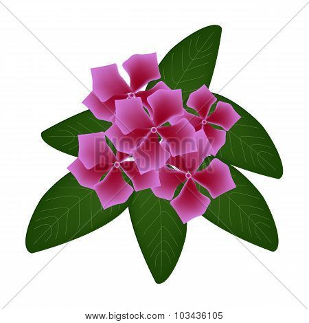 Pink Cape Periwinkle Flowers or Madagascar Periwinkle Flowers
