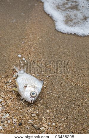 Dead fish on the beach, concept of pullution