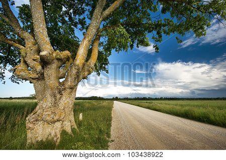 Old elm at gravel road