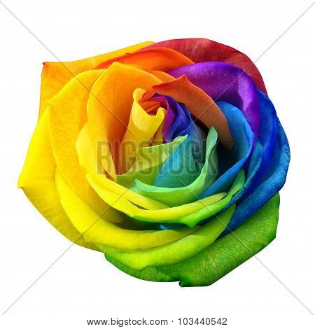 Rainbow Rose Or Happy Flower Isolated By Clipping Path