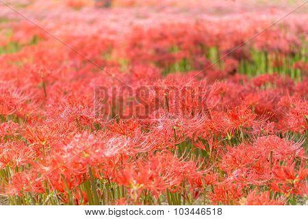 Gochang Seonunsa Red Lily Field