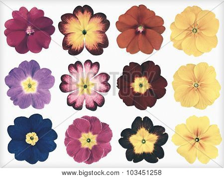 Collection Of Colorful Primroses Isolated Retro Vintage Style