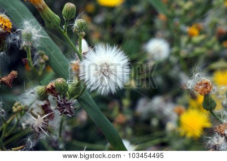 Seed Head of a Field Sow Thistle
