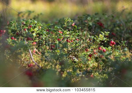 Cranberry glade in the forest
