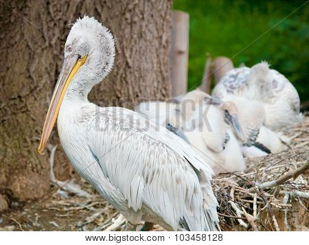 Pelican With Its Baby