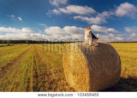 A wire fox terrier perched on top of a hay bale in a Prince Edward Island field.