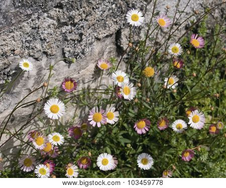 daisies flowering on sparse rocky soil