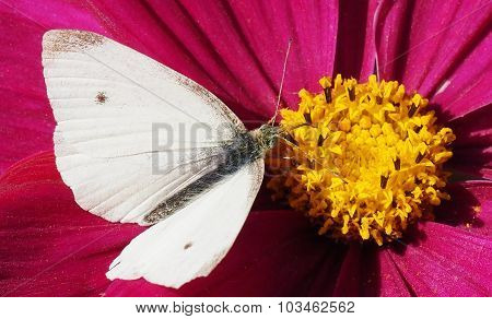 Pieridae Butterfly on Cosmos Flower