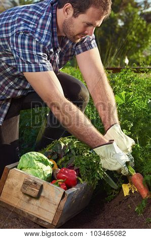Young farmer man harvesting organic vegetables on a sustainable farm growing seasonal produce