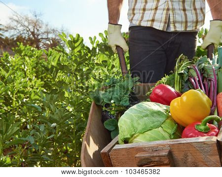 Farmer harvesting organic vegetables on a sustainable farm growing seasonal produce on a wheelbarrow