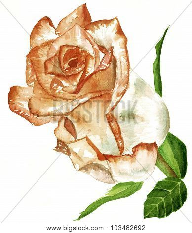 A vintage-styled toned watercolour drawing of a rose on white background
