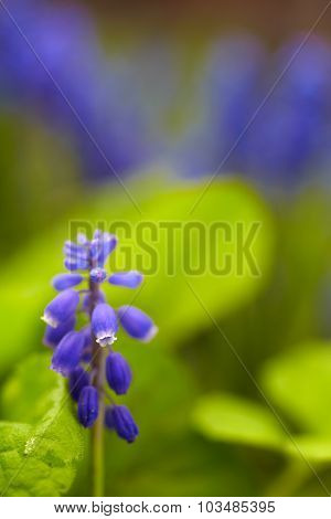 Blue Bluebell