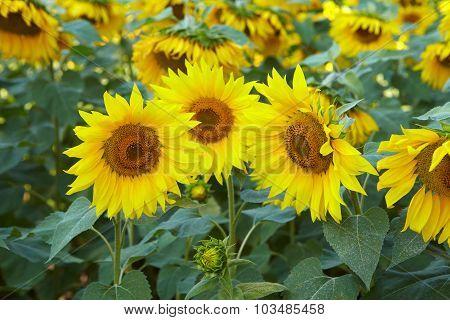 Yellow Flowers Of Sunflower