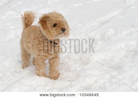 Cockapoo in the Snow