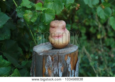 Potatoes On The Stump. Flirtatious Woman's Face At The Root Of Potatoes.