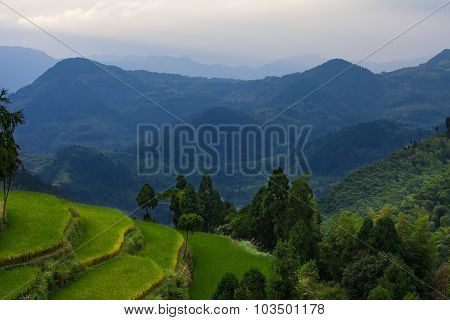 Rice fields on terraced in surice,
