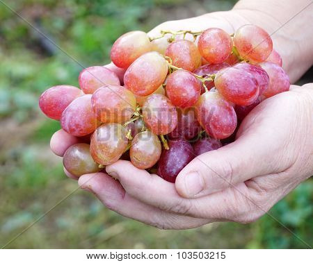 woman holding a grapes close up
