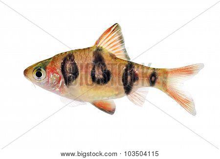Aquarium fish Rhombo Barb Puntius rhomboocellatus freshwater tropical