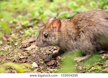 Wild brown wood mouse eating in forest