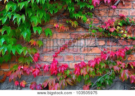 Ivy Climbing On Brick Wall