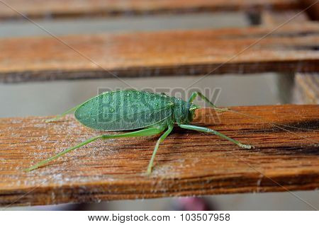 Katydid bush cricket