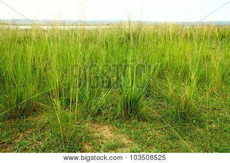 Green Savannah Grass