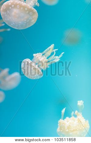Spotted lagoon jelly, golden medusa