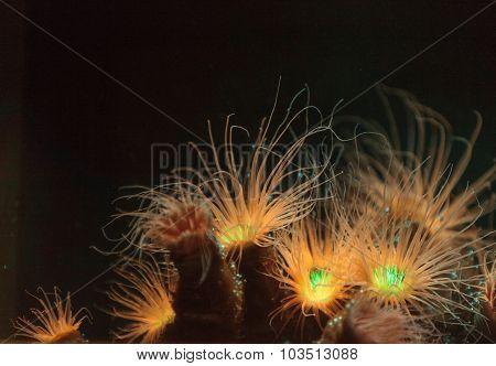 Tube anemone, Ceriantharia