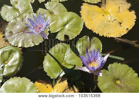 Purple And Yellow Water Lilies