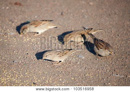 Sparrows Eat Grain