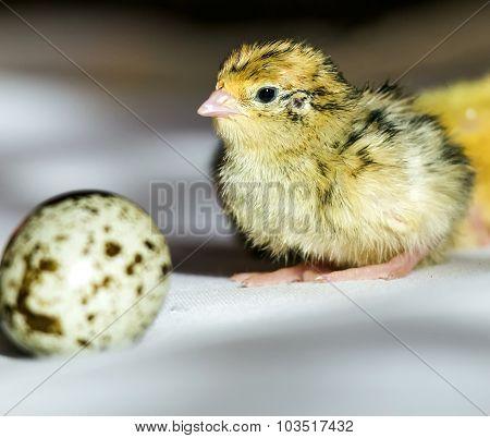Quail Chick