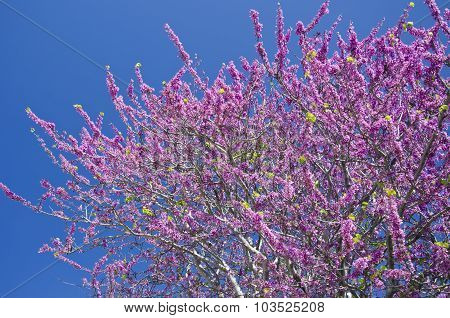 Pink Flowering Tree In Bloom In Greece