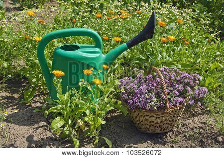 Watering Pot With A Basket Of Freshly Picked Oregano