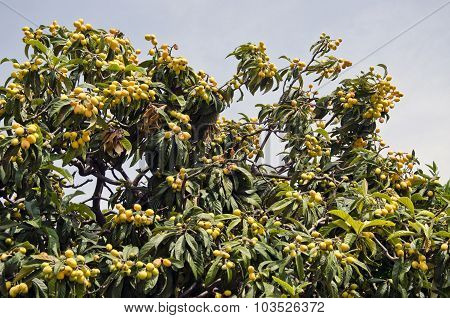Exotic Plant With Ripe Fruit Growing In Greece