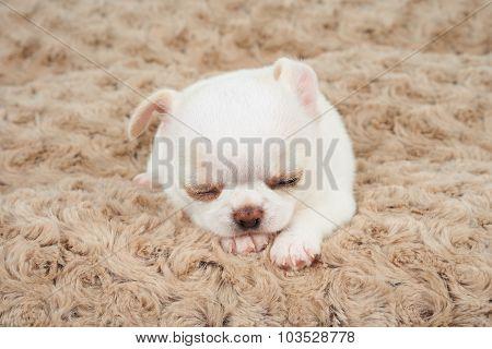 White Puppy On Mat