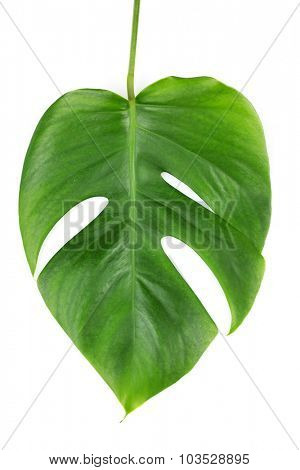 Monstera leaf isolated on white