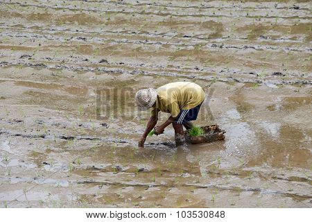 Farmer Working Hard On Rice Field.  Island Bali. Indonesia
