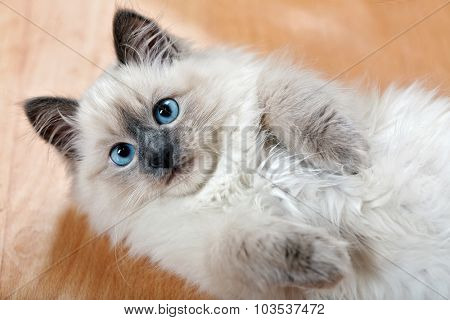 Portrait of cute kitten on parquet at home