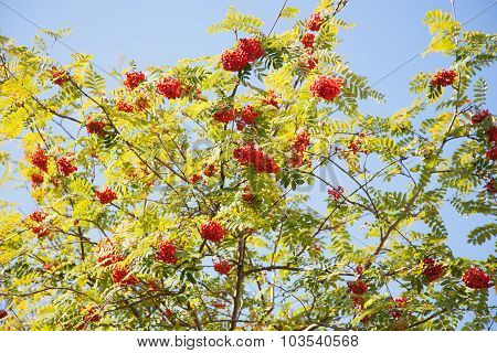 Mountain Ash With Red Berries Against Blue Sky